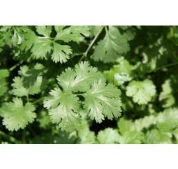 BIO Coriandrum sativum / Koriander, K12