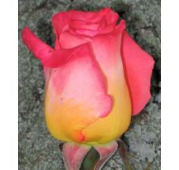Rosa ´Kronenbourg´ / Ruža čajohybrid červenožltá/biela, krík, BK