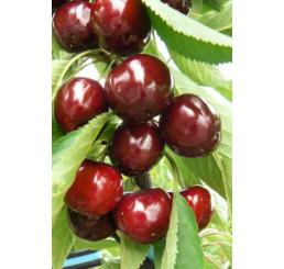 Prunus avium ´Lapins´ / Čerešňa, Gisela5