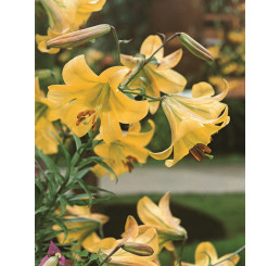 Lilium ´Golden Splendour´ / Ľalia, bal. 2 ks, 16/18