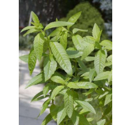 Lippia citriodora ´Freshman´ / Citrónová lípia / Citrónový ker, K7