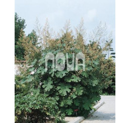Macleaya cordata / Makovec srdcovitý, C1