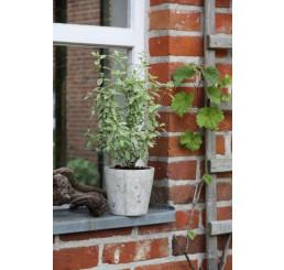 BIO Salvia greggii variegata / Šalvia na podporu trávenia, K12