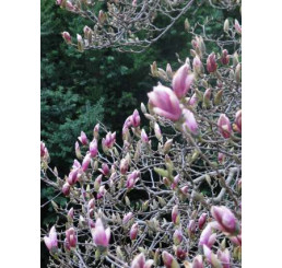 Magnolia x soulangeana ´Sundew´ / Magnólia Soulangova, 30 - 40 cm, K9