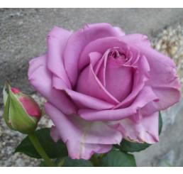Rosa ´Mainzer Fastnacht´ / Ruža čajohybrid fialová, krík, BK