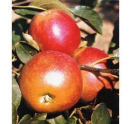 Malus domestica ´James Grieve Red´ / Jabloň neskorá letná, M9