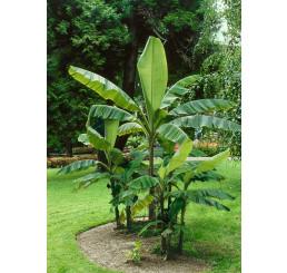 Musa basjoo / Mrazuvzdorný banánovník, 15-20 cm, K12