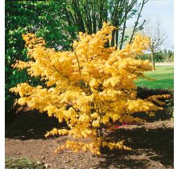Acer palmatum ´Orange Dream´ / Javor dlaňovitolistý, 20-30 cm, C2