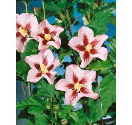 Hibiscus syriacus ´Hamabo´ / Ibištek sýrsky, 40-50 cm, C3