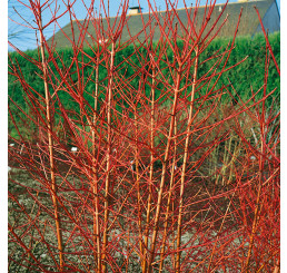 Cornus sanguinea ´Midwinter Fire´ / Svíb (drieň), 25-30 cm, C2