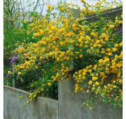 Kerria japonica ´Pleniflora´ / Kéria japonská, 20-30 cm, K9