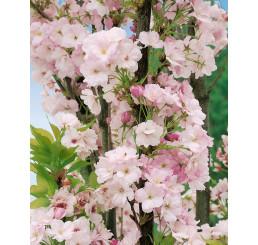 Prunus serrulata ´Amanogawa´ / Višňa pílkatá / Sakura, C4