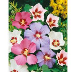 Hibiscus syriacus / Ibištek sýrsky, bal. 30 sem.