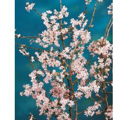 Prunus subhirtella ´Autumnalis Rosea´ / Višňa chĺpkatá, 100-125 cm, C7,5
