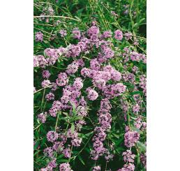 Buddleia alternifolia / Budleja striedavolistá, 50-60 cm, C3
