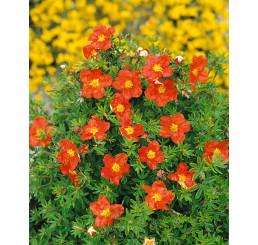 Potentilla fruticosa ´Marian Red Robin´® / Nátržník krovitý  červený, 15 - 20 cm, K12
