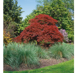 Acer palmatum ´Atropurpureum´ / Javor dlaňovitolistý, 40-50 cm, C3