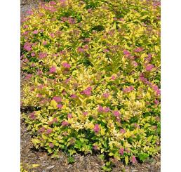 Spiraea japonica ´Golden Princess´ / Tavoľník japonský, K9