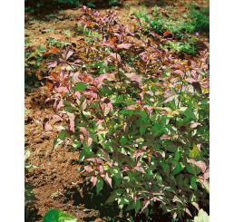 Diervilla splendens, 30-40 cm, C1,5