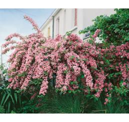 Weigela florida Rosea / Vajgélia kvetnatá, 50-60 cm, C3