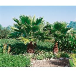 Washingtonia robusta / Palmovka obrovská, bal. 5 sem.