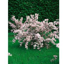 Deutzia rosea / Trojpuk ružový, 30-40 cm, C1,5