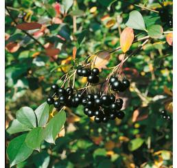 Aronia melanocarpa ´Nero´ / Arónia čiernoplodá, 80-100 cm, K11