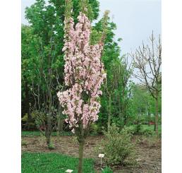 Prunus serrulata ´Amanogawa´ / Višňa pílkatá / Sakura, kmienok 8/10, C20