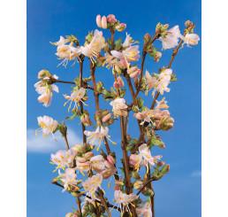 Lonicera fragrantissima / Zemolez voňavý, 50-70 cm, C3