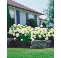 Hydrangea arborescens ´Annabelle´ / Hortenzia stromčekovitá, 30-40 cm, C3