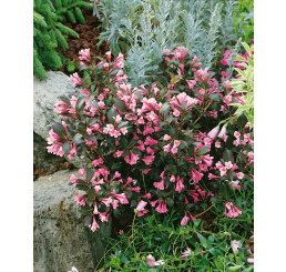 Weigela florida ´ Nana Purpurea´ / Vajgélia, 30-40 cm, C3