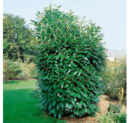 Prunus laurocer. ´Caucasica´ / Vavrínovec, 30-40 cm, K9