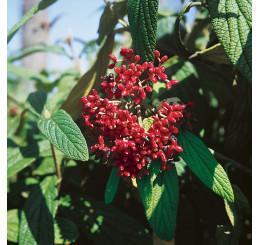 Viburnum rhytidophyllum / Kalinavráskavolistá, 40-60 cm, C2