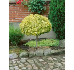Euonymus fortunei ´Emerald Gold´ / Bršlen Fortuneov, 60 cm kmienok, C3
