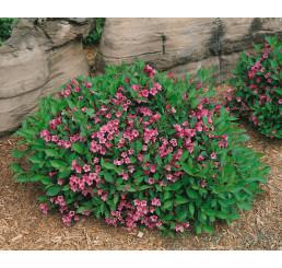 Weigela florida ´Minuet ´/ Vajgélia kvetnatá, 15-20 cm, C1,5