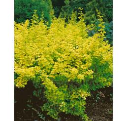 Berberis thunbergii ´Aurea´ / Dráč zlatý, 30-40 cm, C2