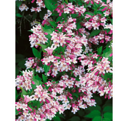 Kolkwitzia amabilis / Kolkvícia ľúbezná, C1,5