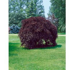 Fagus sylvatica ´Purpurea Pendula´ / Buk lesný previsnutý purpurovo-červený, 100-125 cm, C7,5