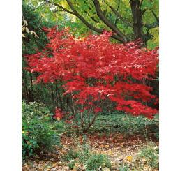 Acer palmatum ´Bloodgood´ / Javor dlaňovitolistý, 60-80 cm, C3