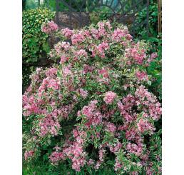 Weigela florida ´Variegata´ / Vajgela kvetnatá panašovaná, 20-30 cm, K9