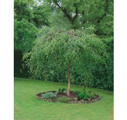 Betula pendula ´Youngii´ / Breza previsnutá, 125-150 cm, C3