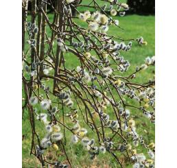 Salix caprea ´Pendula´ / Vŕba rakytová, 130 cm kmienok, C5