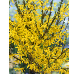 Forsythia x interm. viridissima ´ Week End´ / Zlatý dážď / Zlatovka prostredná, 20-30 cm, K12