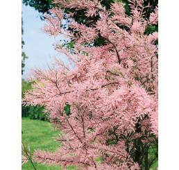 Tamarix parviflora / Tamariškadrobnokvetá, 30-40 cm, C1,5