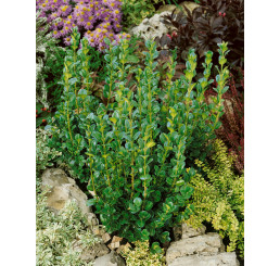 Buxus rotundifolia / Krušpán okrúhlolistý, 20-30 cm, C1,5
