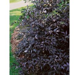 Sambucus nigra ´Black Beauty´ / Baza čierna ´Čierna kráska´, 30-40 cm, C2