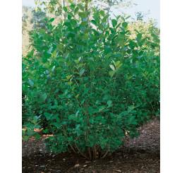 Aronia prunifolia ´Viking´ / Arónia slivkolistá, 80-100 cm, C3