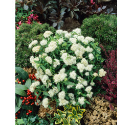 Spiraea japonica ´Albiflora´ / Tavoľník, K9