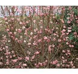 Viburnum bodnantense ´Dawn´ / Kalina, 40-60 cm, C2