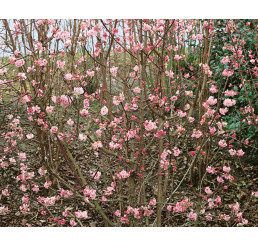 Viburnum bodnantense ´Dawn´ / Kalina, 60-80 cm, C3